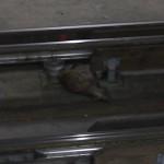 Kleiner Fuchs der tot neben den Stromleitern liegt.